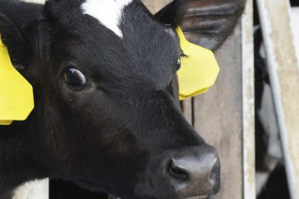 calf duffields