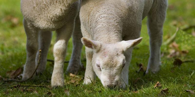 Lamb Feeds