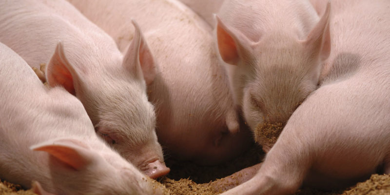 Pig Feeds